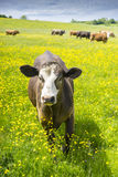 Single cow approaching camera in field of buttercups Royalty Free Stock Photography