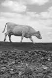 Single cow feeding on the lush grass Stock Image