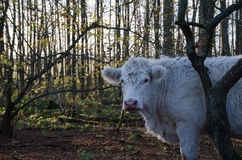 Single cow in a forest Stock Photo