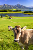 Single cow in front of beautiful landscape of Bavaria with alps mountains Stock Photo