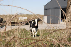 Single cow in front of farm Royalty Free Stock Images