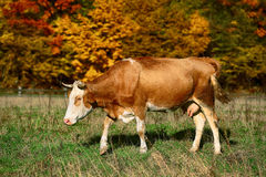 Single cow grazes near colorfull Autumnal forest. Royalty Free Stock Photo