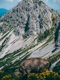 Single cow infront of big mountains in the swiss alps. Farm sorenberg royalty free stock image