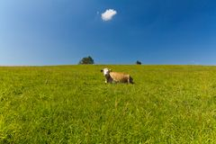 Single cow laying on green meadow on blue sky background Royalty Free Stock Photos