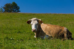 Single cow laying on green meadow on blue sky background Royalty Free Stock Photography