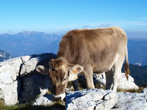 Single cow on the mountains Royalty Free Stock Photo