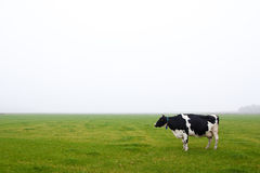 A single cow standing in a grassland Royalty Free Stock Image