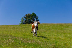 Single cow standing on green meadow on blue sky background Stock Images
