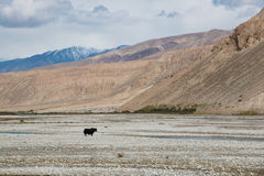 Single cow standing in vast mountain landscape Royalty Free Stock Photos