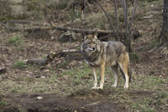 A single coyote in a forest Stock Photo