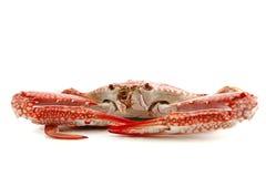 Single crab Royalty Free Stock Photography