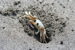 Single crab on black sand, Anse couleuvre, Martinique. Royalty Free Stock Image