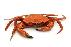 Single crab isolated Stock Images