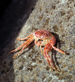 Single crab Stock Images