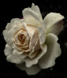 A single cream colored sepia tinted rose Royalty Free Stock Photos