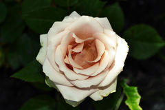 cream rose with leaves stock photo image of celebration