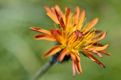 Single crepis flower Royalty Free Stock Images