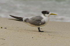 Single Crested Tern Stock Photo