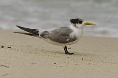 Single Crested Tern Stock Photo