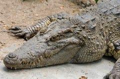 Single crocodile crouch on ground. Single crocodile crouch on ground in zoo Royalty Free Stock Image