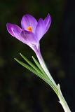 Single Crocus Stock Images