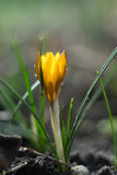 Single Crocus close up Royalty Free Stock Images