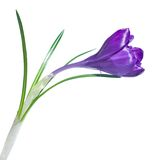Single crocus isolated Stock Image