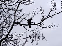 A single crow perched in the branches of a winter tree in silhouette. With grey clouds Stock Images