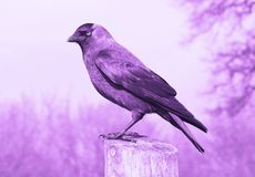 Amethyst Crow in Profile. A single crow stands on a wooden post. Finished in hues of purple except for his yellow eye Royalty Free Stock Photography