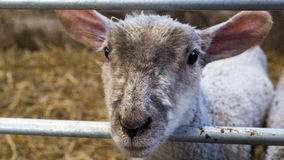 Single curious lamb. A collection of young lambs standing of a floor of straw hey Stock Photos