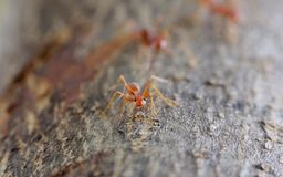 Single cute ant looking into the camera. In  wood Royalty Free Stock Photography