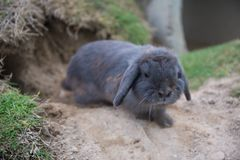 single cute baby rabbit in front of tunnel Royalty Free Stock Images