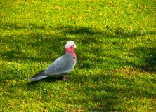Single Cute Galah cockatoo bird feeding on a green grass at a botanical garden. A beautiful single Cute Galah cockatoo bird also known as the rose-breasted Stock Images