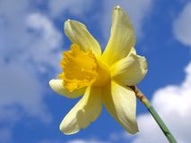 Single daffodil Royalty Free Stock Photo