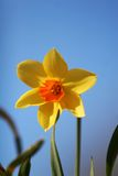 Single daffodil. Single yellow daffodil agains a blue sky, the specimen is special because the center is orange instead of same yellow color as the rest of the Stock Images