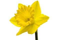 Single daffodil. Single yellow daffodil on a white background Stock Image
