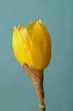 Single Daffodil in Blossoming Process Royalty Free Stock Image