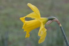 A single daffodil on a rainy day royalty free stock image
