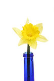 Single daffodil flower Stock Images