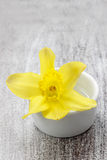 Single daffodil flower in white ceramic pot Royalty Free Stock Images