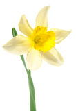 Single daffodil Royalty Free Stock Photography