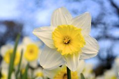 A single daffodil. Stock Images