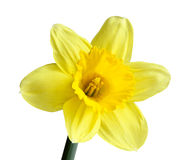 Single Daffodil. Single narcissus daffodill jonquil flower isolated on white background Stock Photos