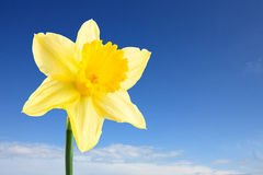 Single daffodil and sky Stock Images