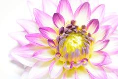 Single dahlia blossom. Royalty Free Stock Photo