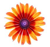 Single dahlia flower Stock Photography