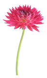 Single dahlia flower Stock Photos