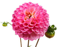 Single dahlia Royalty Free Stock Photography