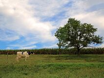 Single dairy cow in pasture with tree
