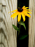 Single Daisy. Peeking out from behind fence Royalty Free Stock Image